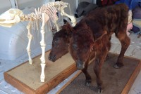 two headed calf & skeleton 3